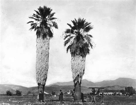 history trees a brief history of palm trees in southern california kcet
