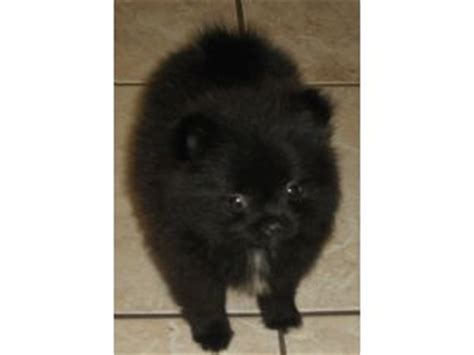 pomeranian puppies for sale in louisiana miniature pomeranian puppies for sale in louisiana