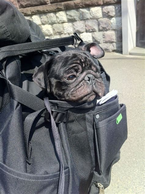 pug carrier backpack 1 000 件以上の backpack のおしゃれアイデアまとめ