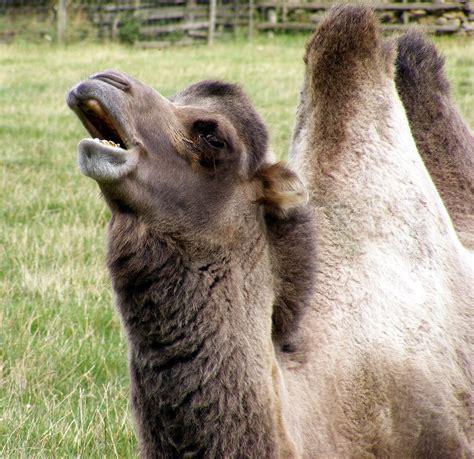 bildet utendors gard eng dyr dyreliv dyrehage fauna munn llama alpakka oye