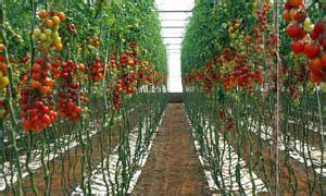pomodori ciliegini in vaso ciliegino e datterino 2 piante bellissime e facili da