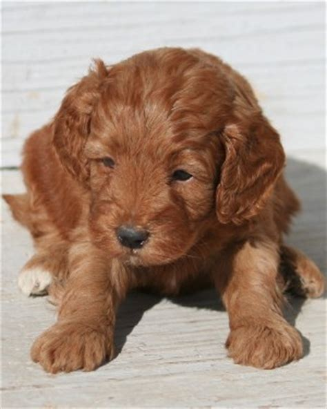 mini teddy puppies teddy miniature poodle puppies