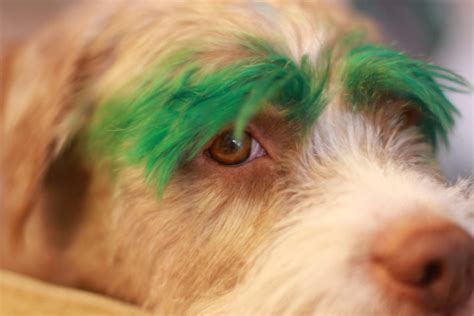 hair dye for dogs 5 diy hair dye methods using food color to before you dye your s