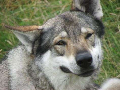 Smiling Wolf smiling wolf by woody897 on deviantart