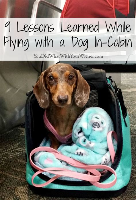 flying with a pug in cabin the 25 best flying with pets ideas on flying with dogs the fly shop and