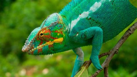 do iguanas change color earth the about chameleons