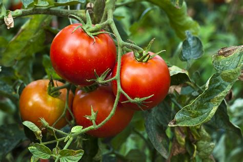 The Tomato by From Farm To Fork Tomatoes Oxford Australia
