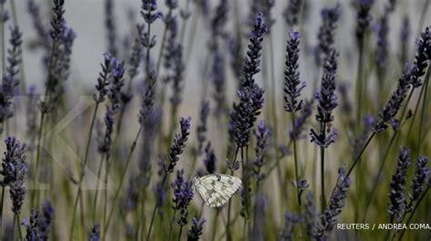 Lu Hias 17 lavender peluang harum tanaman anti nyamuk 1