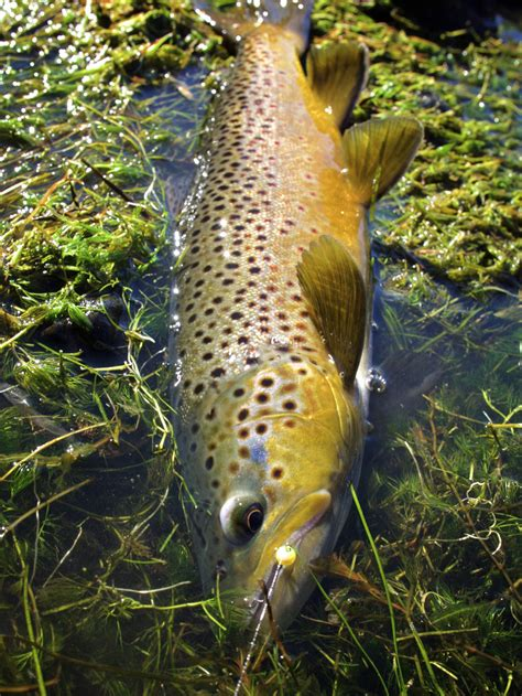 egg pattern brown trout brown trout tungsten embryo