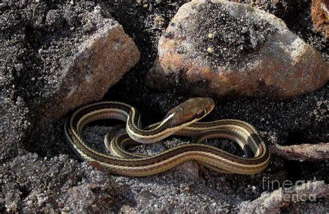 Garter Snake Juvenile Juvenile Ribbon Snake Photograph By Joshua Bales