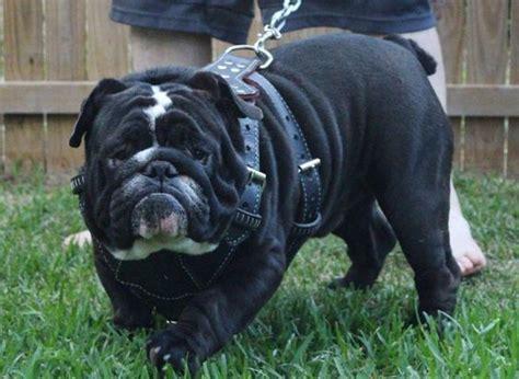 black bulldog puppy black bulldog breeds wallpapersdog breeds wallpapers just because