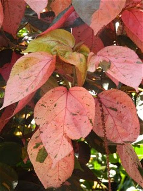 Acalypha Wilkesiana Blaze 269 best images about plant names on