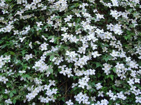 panoramio photo of flowering hedge