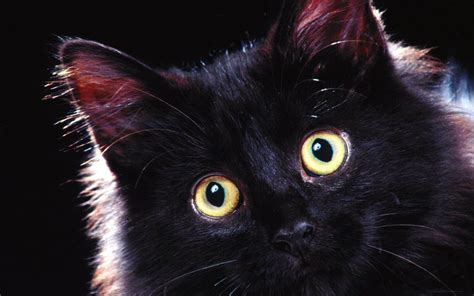 black kitten wallpaper black cats hd wallpapers beautiful pictures images hd