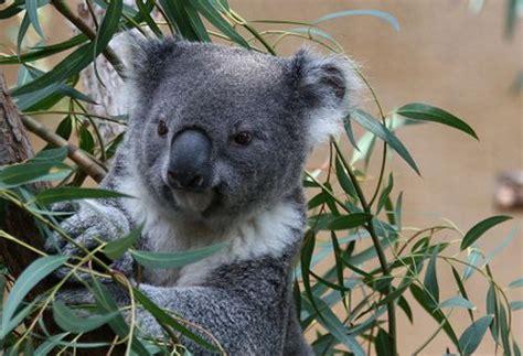 koala hängematte animali in via d estinzione nuove speranze per i koala