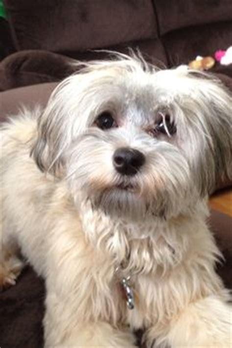 havamalt puppies havamalt maltese havanese mix info care puppies and pictures