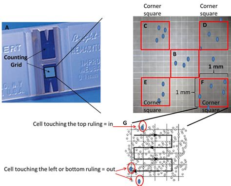 25 Square Meter by Cell Counting With A Hemocytometer Easy As 1 2 3