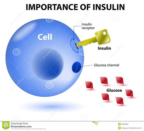 Teh Insulin how does insulin work stock vector illustration of