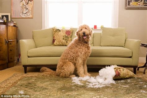 dog chewing couch how to stop your dog destroying your home when you re out