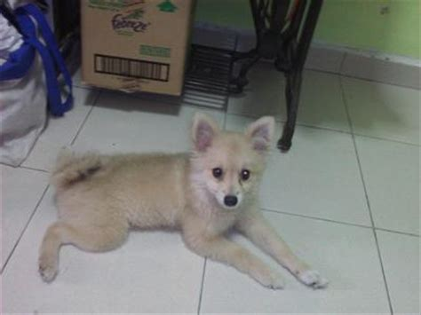 pomeranian purebred pomeranian puppy sold 5 months purebred pomeranian 5mths puppy from kluang johor
