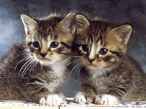 twin cats cat twins wallpapers animals animaljpg ru