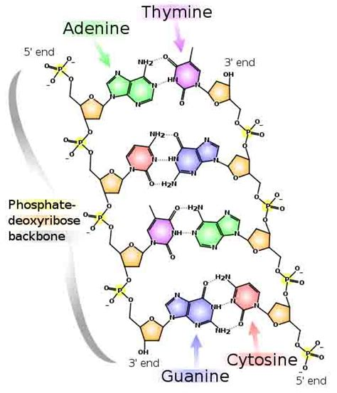 Where In A Eukaryotic Cell Does Translation Occur by Deoxyribonucleic Acid What Is Dna