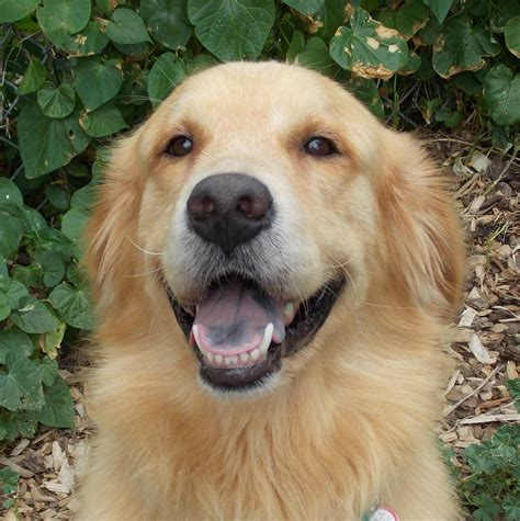 golden retriever rescue chicago as as gold golden retriever rescue of illinoisboston as as gold