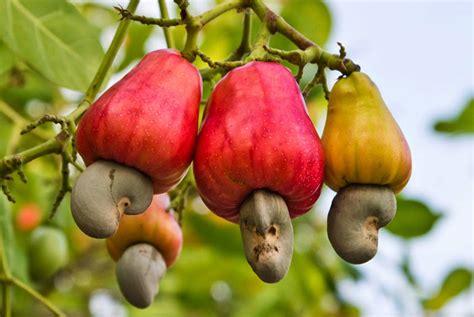 cashew nut fruit tree cashew nut plantations mount chua phu quoc vacations