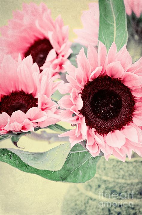 pink sunflowers photograph by angela pink sunflowers photograph by angela doelling ad design