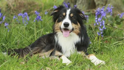 tricolor border collie puppy what s a tricolor border collie reference
