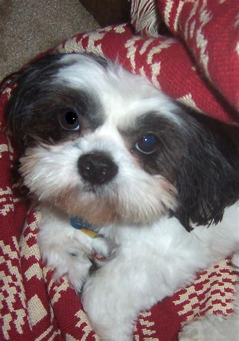 shih tzu rescue dfw shih tzu rescue lhasa apso adopt breeds picture