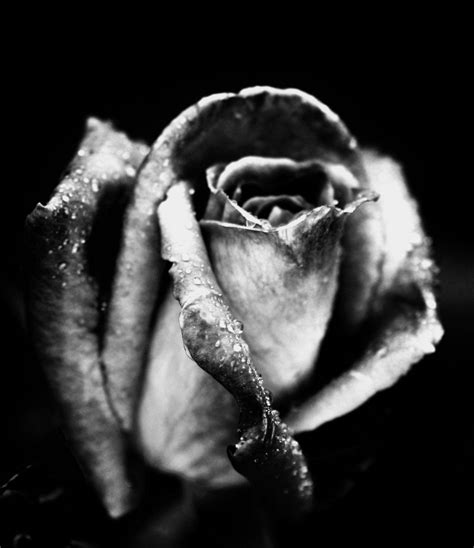 imagenes en blanco y negro de rosas im 225 genes de flores blanco y negro fondos de pantalla y