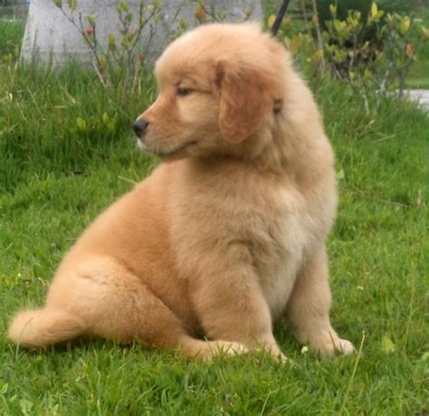 golden retriever venda filhotes de golden retriever em fortaleza animale petshop fortaleza