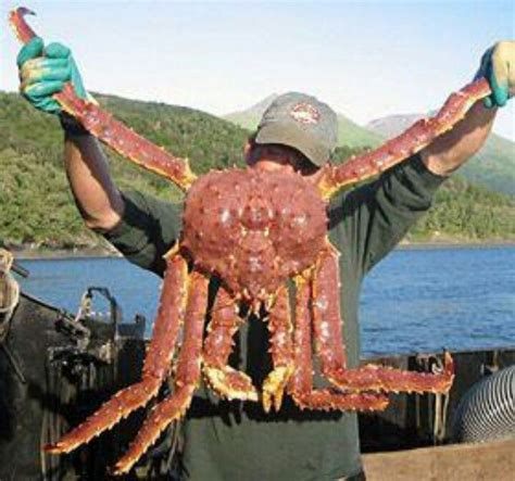 what type of crabs caught in deasdliest catch monster red king crab animals pinterest crabs red