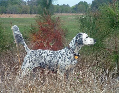 trained english setter hunting dogs for sale 48 best images about english setter on pinterest