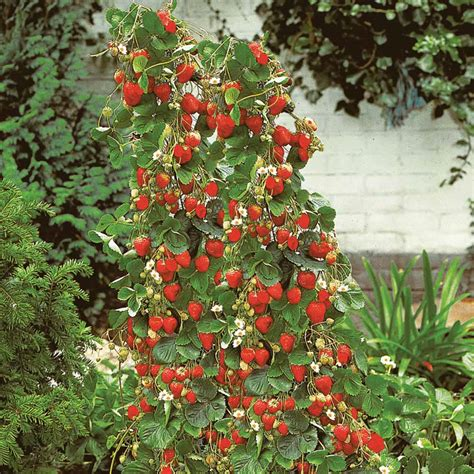 strawberry plants strawberry mount everest