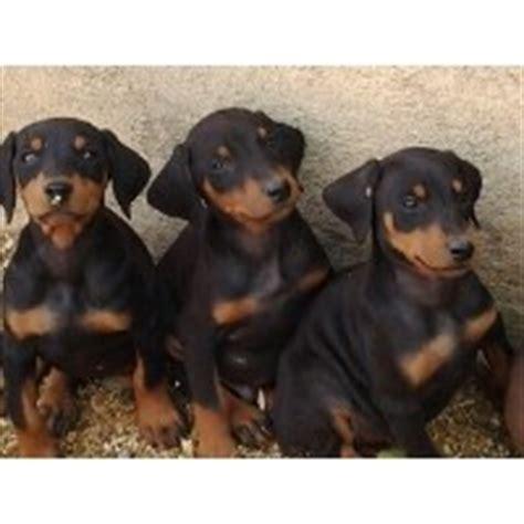 doberman puppies for sale in oregon doberman pinscher breeders in california freedoglistings page 1