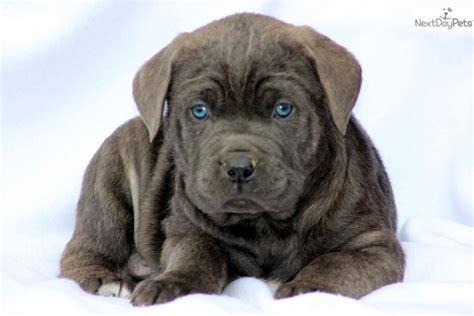 corso puppies price corso mastiff puppy for sale near lancaster pennsylvania 7449954b 6571