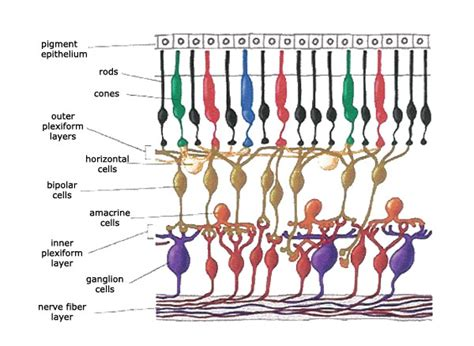 receptor cells in the retina responsible for color vision are how does the optic nerve what color a particular