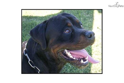 rottweiler puppies for sale bakersfield ca puppies for sale from sky ranch rotts member since august 2010