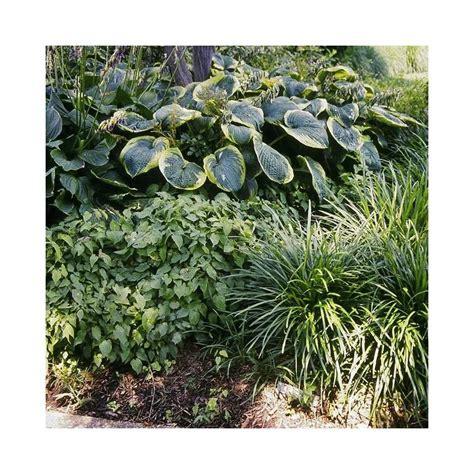 fiori perenni per bordure perenni da bordura per giardino in ombra vivaio