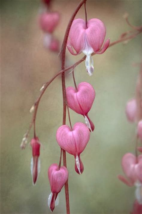 Gamis Flower 67 Pink 67 best images about bleeding hearts columbines dicentra on bleeding hearts