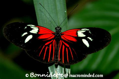 red and black butterflies red butterfly species black and red butterfly species