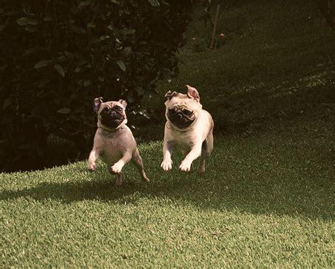 see pug run book 38 best pug run images on pug dogs pug and pugs