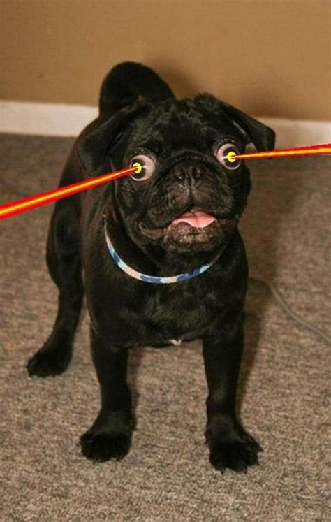 pugs are stupid pug pictures crazecentral