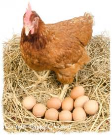 Backyard Chickens Refrigerate Eggs Ppl Said Kangkang Will Kena Ji