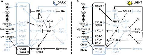 frontiers transcriptional regulation of mononuclear frontiers transcriptional regulation of tetrapyrrole