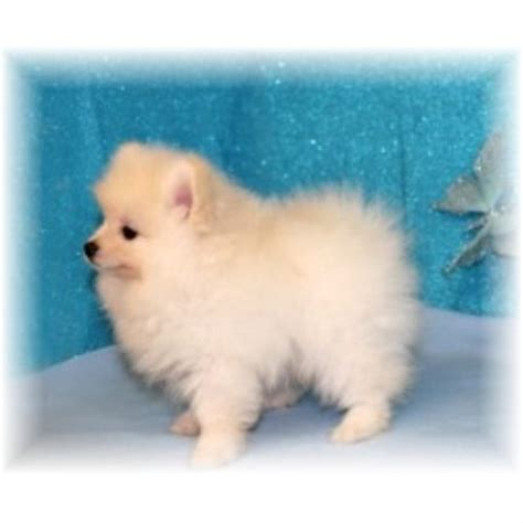 kennel club pomeranian breeders back forty kennel pomeranian breeder in terry mississippi