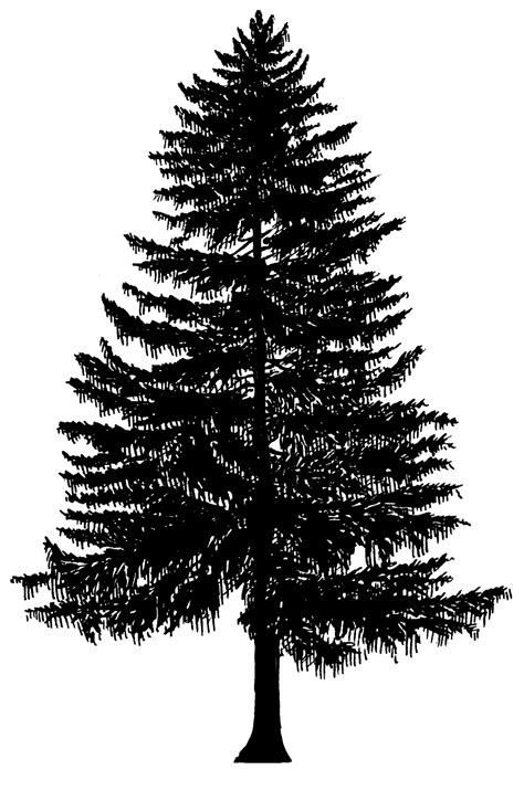 Evergreen Tree Clip by Evergeen Branches Clipart Png Transparent Background