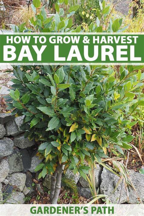 grow bay laurel  kitchen   ornamental